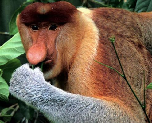 Borneo Malezja wycieczki wakacje. wycieczki indywidualne. Nosacze