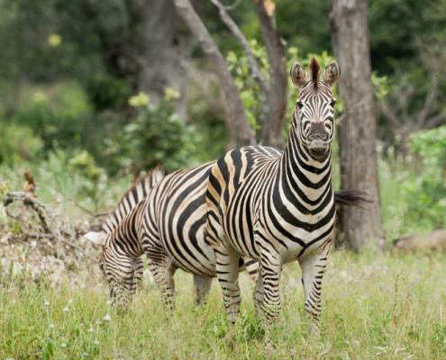 RPA wycieczki safari zebry