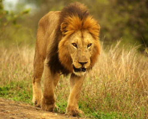 Wakacje RPA wycieczki safari lew