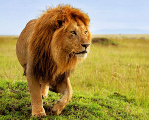 Wakacje Tanzania wycieczki safari lew