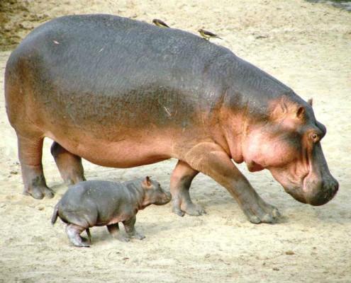 Tanzania safari hipopotamy z Ngoro Ngoro