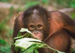 Malezja Borneo atrakcje- orangutan