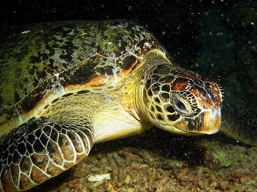 Malezja wycieczki. Żółw zielony