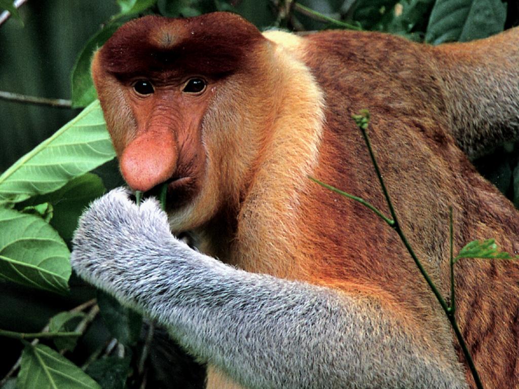 Borneo egzotyczne podróże Fauna Nosacz. Malezja wycieczki