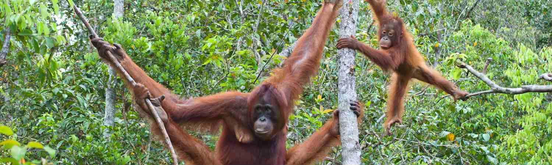Malezja wakacje orangutany