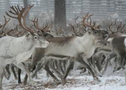 Laponia spotkanie z Mikolajem - Wycieczki na koło podbiegunowe Finlandia
