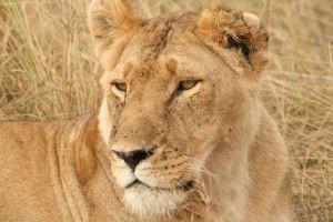 Kenia Wakacje safari lew