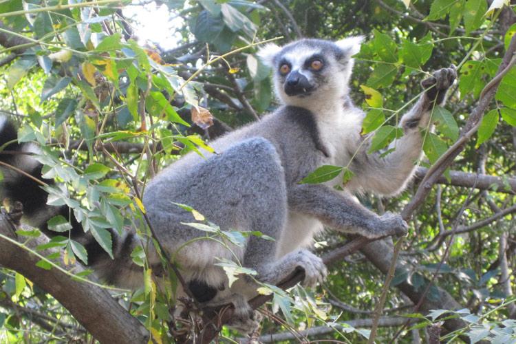 Madagaskar fauna lemur. madagaskar wycieczka