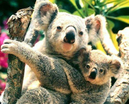 Australia wycieczki przyroda koala
