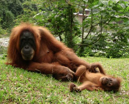 Wakacje Indonezja wycieczki Orangutany