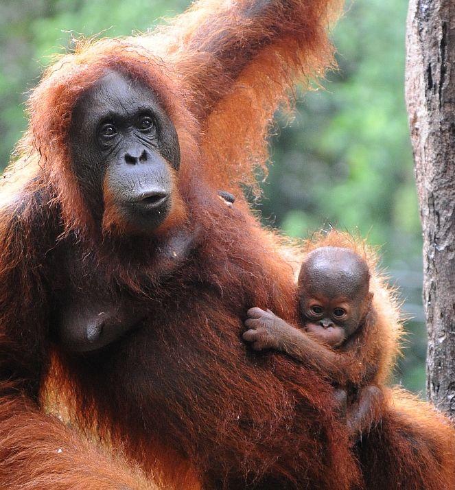 Borneo egzotyczne podroze Orangutan. Malezja