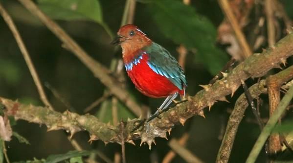Borneo egzotyczne podroze Fauna - Ptaki. Malezja wycieczki