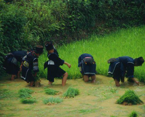Wietnam egzotyczne wycieczki zbieranie ryżu. TOP TRAVEL Ekskluzywne wakacje Azja.