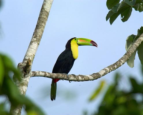 Belize egzotyczne wakacje przyroda tukan. TOP TRAVEL Ekskluzywne wycieczki Ameryka Środkowa.