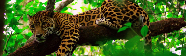 Belize wakacje - spotkanie z jaguarem. Wycieczki Ameryka Południowa