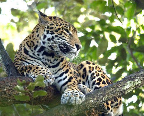 Belize egzotyczne wakacje przyroda jaguar. TOP TRAVEL Ekskluzywne wycieczki Ameryka Środkowa.