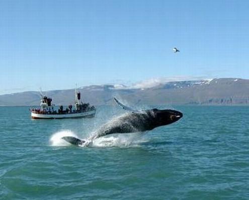 Islandia wakacje wieloryby