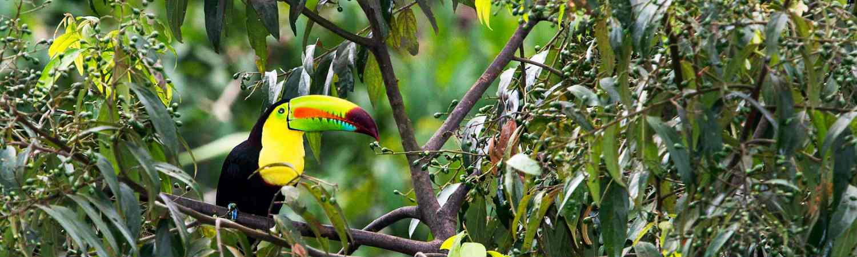 Honduras wycieczki. Tukan Przyroda