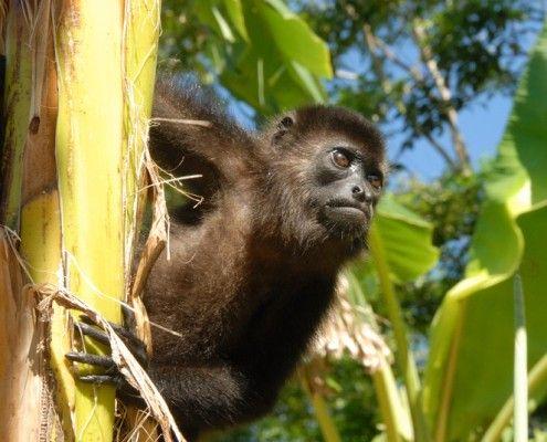 Honduras atrakcje małpy