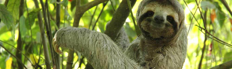 Kostaryka wakacje. Mieszkaniec lasów Kostaryki - leniwiec