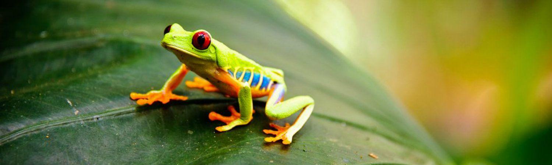 Kostaryka wakacje ostatnio odkryta żaba: Red-eyed Tree Frog