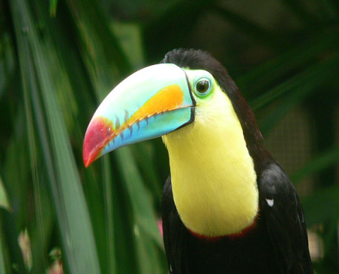 Panama wycieczki wakacje podróże: przyroda Tukan