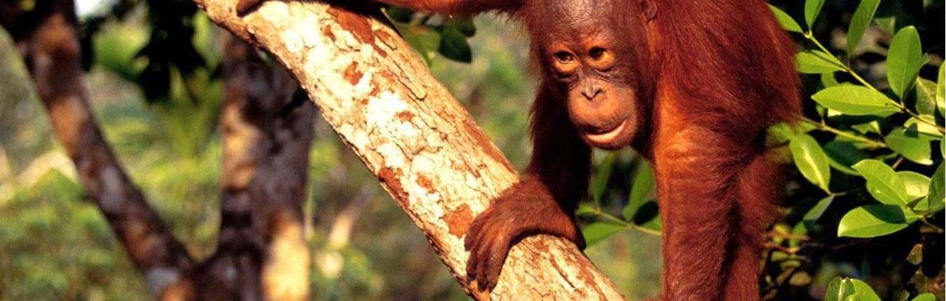 3-Borneo-Orangutan-1
